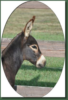 Click photo of miniature donkey for sale to enlarge image