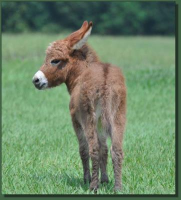 Cedar Creek Gypsy Rose, red miniature donkey jenent for sale
