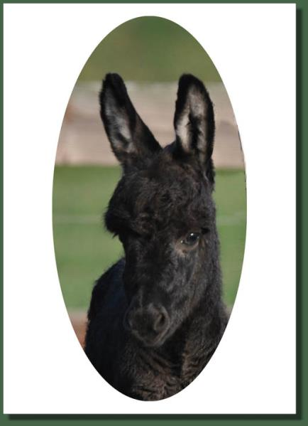 Cedar Creek Shady Lady, miniature donkey for sale