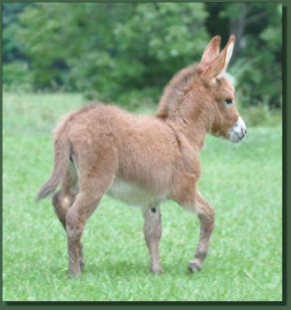 Cedar Creek Gypsy Rose, red miniature donkey jennet for sale