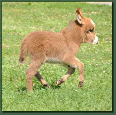 Miniature donkey for sale
