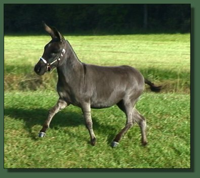 Cedar Creek Farm's Shadow Dancer